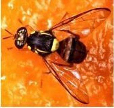 ミカンコミバエの成虫(県病害虫防除技術センター提供)