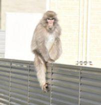 いわきの住宅街に「サル」出没 カメラの前でも動じず...