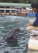 飼育日数が国内最長となったバンドウイルカの「ナナ」。現在もショーで活躍する=4日午前、下田市の下田海中水族館