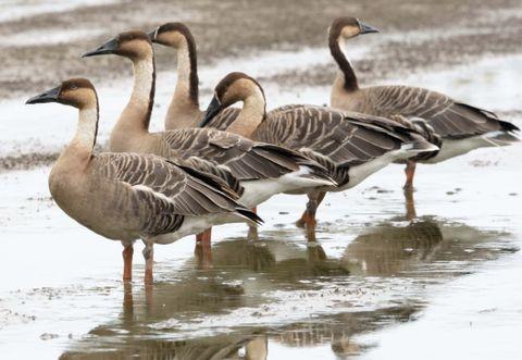 北風に乗って南の島にやってきた 石垣島にサカツラガン5羽が飛来