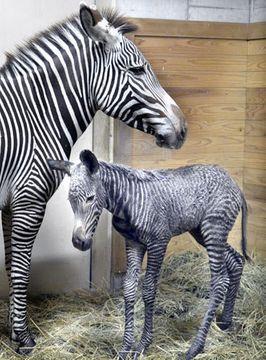 誕生したグレビーシマウマの赤ちゃん(手前)と母「ミンディー」=京都市動物園提供