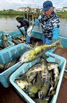 秋サケ踊る 気仙沼で定置網漁始まる 初日は「まずまず」