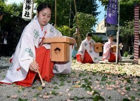 黄金色のギンナンを拾い集めるみこたち=4日午前10時すぎ、福岡市博多区の櫛田神社