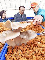 大熊産「ホンシメジ」出荷開始 震災後初、香りが強く風味豊か